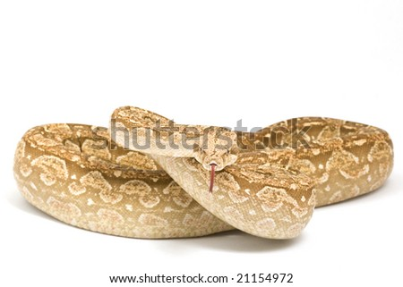 Carmel Argentine Boa (Boa constrictor occidentalis) on white background. - stock photo