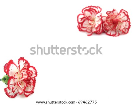 Carnation flowers on the white background - stock photo