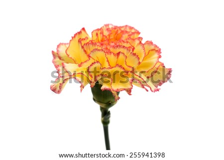carnation on a white background