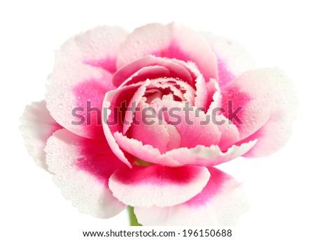 Carnations on white background - stock photo