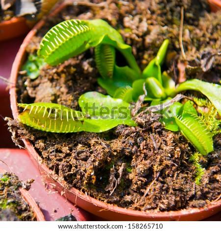 carnivorous plant - stock photo
