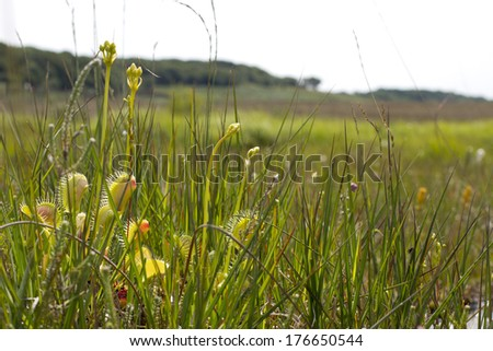 Carnivorous plant - Venus flytrap (Dionaea muscipula), growing in the New Forest, Hampshire, England, UK. With flower stems growing. Introduced species. - stock photo