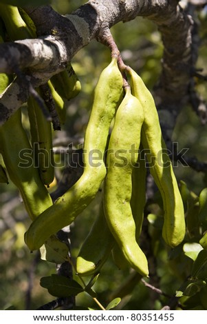 Carob pods starting to ripen on a tree in Portugal.