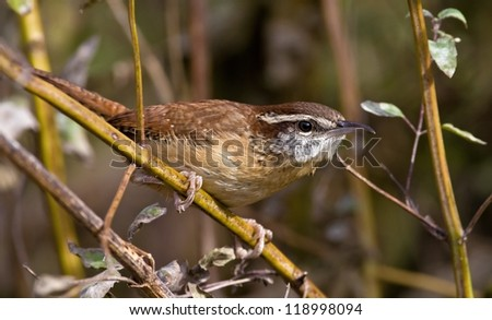 Carolina Wren foraging on a cold winter's day - stock photo