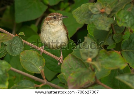 Carolina Wren perched on a branch.