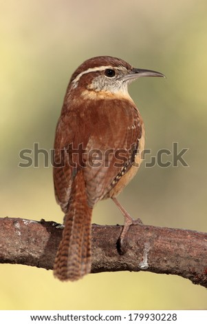 Carolina wren perched on branch - stock photo