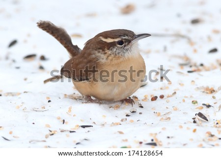 Carolina Wren standing in the bird seed covered snow. - stock photo