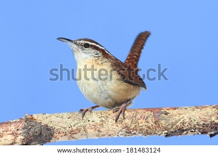 Carolina Wren (Thryothorus ludovicianus) on a branch with a blue sky background - stock photo