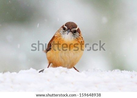Carolina Wren (Thryothorus ludovicianus) on a perch covered with snow - stock photo