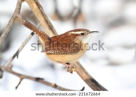 Carolina Wren (Thryothorus ludovicianus) on a perch with snow falling - stock photo