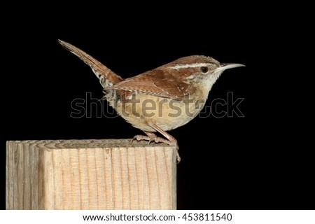 Carolina Wren (Thryothorus ludovicianus) on a post with a black background