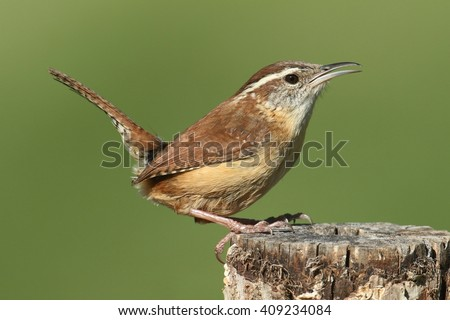 Carolina Wren (Thryothorus ludovicianus) on a post with a green background - stock photo