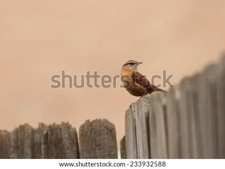 Carolina Wren (Thryothorus ludovicianus) perched on aged wooden fence with soft pastel background -- harmonious colors or Analogous Harmony. - stock photo