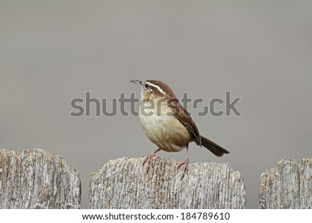 Carolina Wren (Thryothorus ludovicianus) perched on weathered old wooden fence with soft background and copy space.   - stock photo