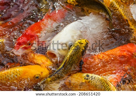 carp fish in the pool close-up