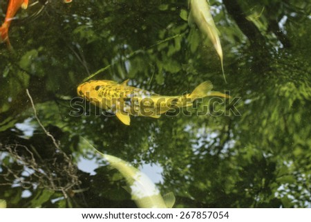 Carp fishs in the pond with shadow tree
