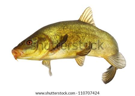carp, tench, colored fish swimming free - stock photo