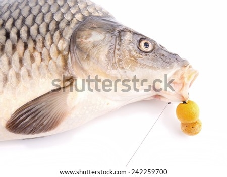 Carp with fishing hair rig and bait - stock photo