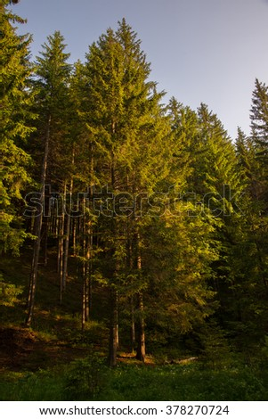 Carpathian forest - stock photo