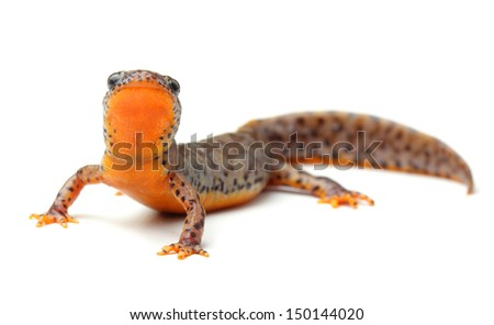 Carpathian newt (Lissotriton montandoni) on white - stock photo