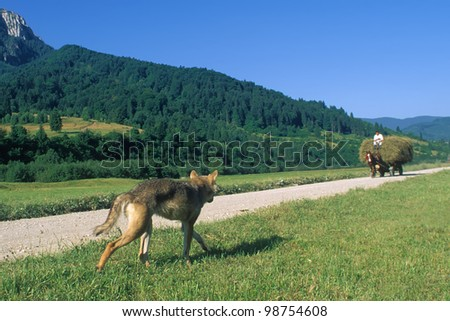 Carpathian wolf (Canis lupus), Kingstone Mountains, Southern Carpathians, Romania