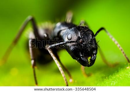 Carpenter ant extreme high quality macro - stock photo
