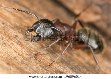Carpenter ant, this insect is a major pest - stock photo