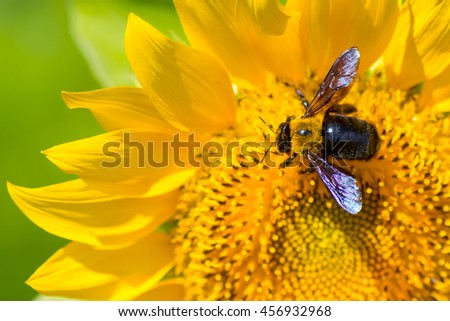 Carpenter bee pollinating a sunflower. - stock photo