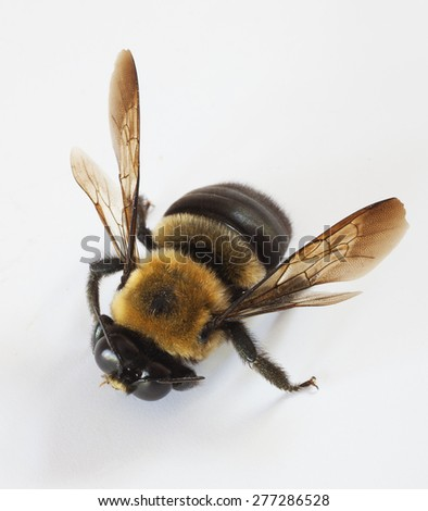 Carpenter bee that is a male on a white background - stock photo