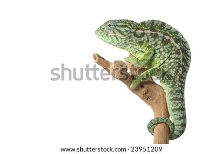 Carpet Chameleon (Chamaeleo lateralis) isolated on white background. - stock photo
