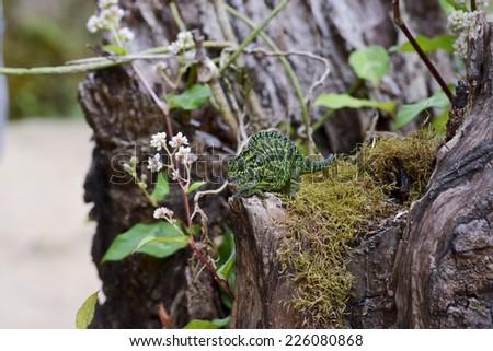 Carpet Chameleon (Furcifer lateralis lateralis) - Rare Madagascar Endemic Reptile - stock photo