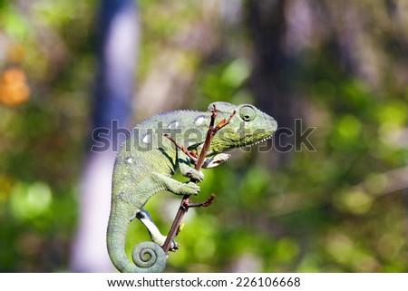 Carpet Chameleon (Furcifer lateralis) - Rare Madagascar Endemic Reptile - stock photo