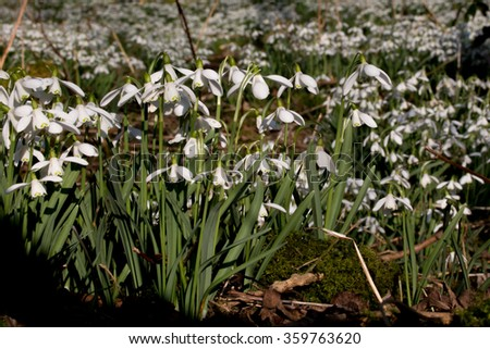 Carpet of Common snowdrops (Galanthus nivalis)  on the edge of the wood - stock photo