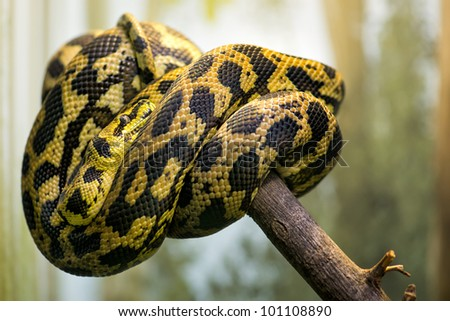 Carpet python (Morelia spilota) curled on a branch - stock photo