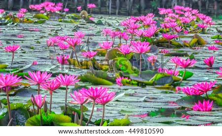 Carpets lakeside water lily with purple flowers bloom on lake, below leaves to green covers pond beautiful sunshine and idyllic early in rural Vietnam