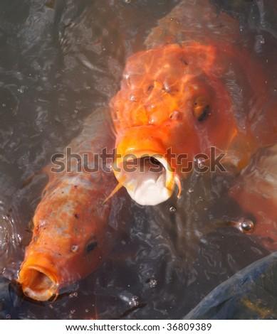 carpfish - stock photo