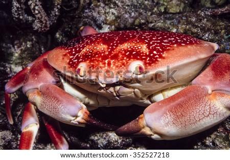 Carpilius corallinus or Batwing Coral Crab on coral reef in Caribbean - stock photo