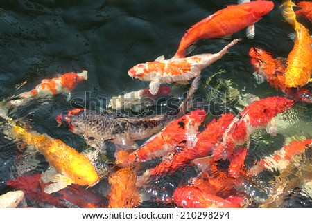 Cute pyjama nudibranch on red sponge stock photo 186526679 for Japanese ornamental fish