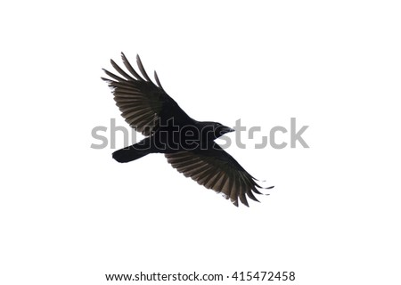Carrian crow with wide-spread wings isolated against white background