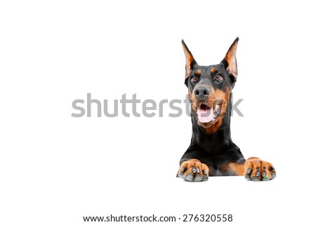 Carried away. Doberman pinscher emerging from behind out on isolated white background. - stock photo
