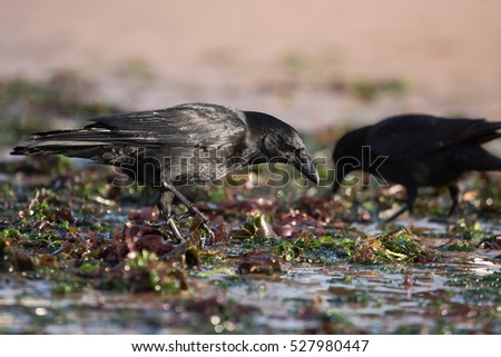 Carrion Crow, Crow, Birds