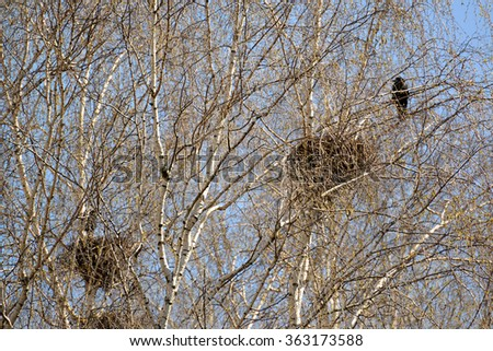 Carrion crows of a nest on branches of young birches. Spring landscape - stock photo