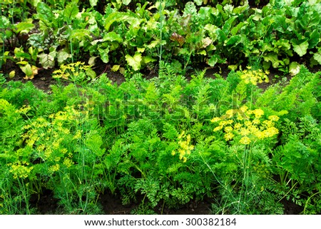 Carrot and beetroot patches, growing organic vegetables in the garden - stock photo
