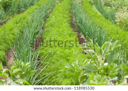Carrot and onion in vegetable garden ridge - stock photo