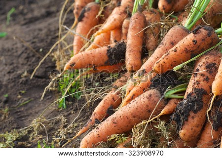 Carrot from the garden bed - stock photo
