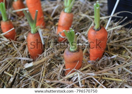 carrot in the farm