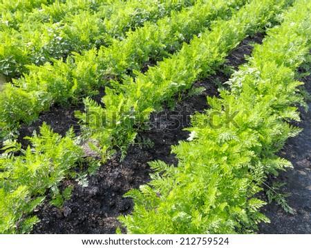 Carrots growing in field - stock photo