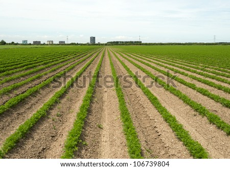 Carrots growing on a field in summer