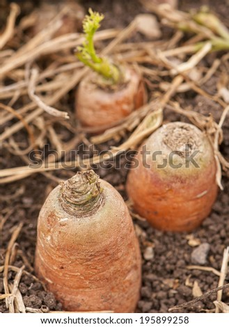 carrots in the ground - stock photo