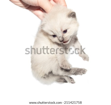 Carrying kitten Isolated on white background - stock photo